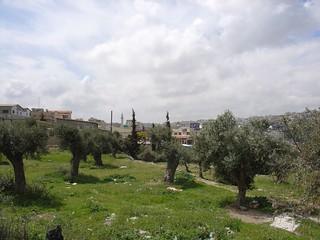 Olive Trees Bethlehem