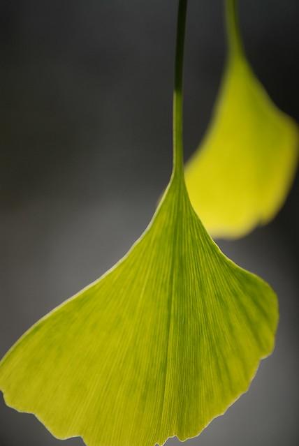 Leaf Pair, Fullerton Arboretum