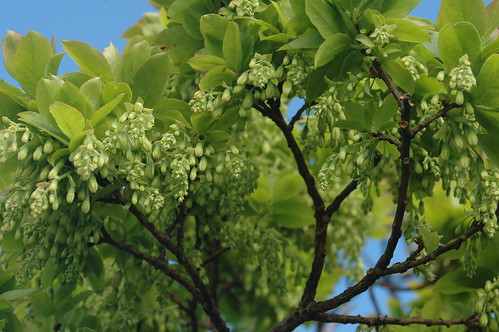 Uva da Serra a começar a floração