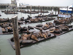 Sea lions barking