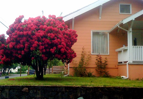 When choosing new house color, keep in mind the color of the rhodies.