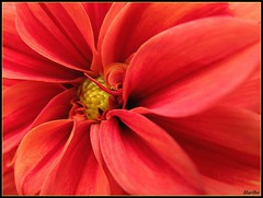 Burning Love (☜✿☞ Bo ☜✿☞) Tags: red flower macro garden bravo flickr elvis explore gerbera haribo flickrexplore digitalcameraclub colorphotoaward canong9 borninglone mupic