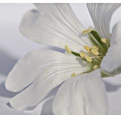 Tiny white (Ben124.) Tags: summer white flower macro beauty closeup petals photofaceoffwinner pfogold
