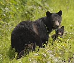 Sow & 2 cubs 080628 (zpaperboyz) Tags: bear wild canada black nature face animal hair fur photo eyes bc head britishcolumbia wildlife canon20d blackbear ursusamericanus chadgraham sigma120400os soldthroughgettyimages
