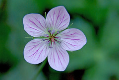 Richardson's Geranium - Bill Williams Mountain (Al_HikesAZ) Tags: arizona white mountain southwest flora purple williams symbol hiking hike explore trail geranium rounded striped geri pointed usda geraniaceae dicot 5petals wfgna striping richardsons veining geraniumrichardsonii 5sepals richardsonsgeranium billwilliams azwexplore billwilliamsmountain taxonomy:family=geraniaceae azflora alhikesaz taxonomy:binomial=geraniumrichardsonii arizonahighwaysflowers