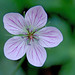 Richardson's Geranium - Bill Williams Mountain