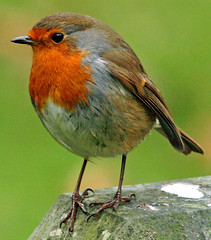 hey whats going on (earlyalan90 away awhile) Tags: robin erithacusrubecula artcafe naturesfinest specanimal aplusphoto avianexcellence diamondclassphotographer flickrdiamond worldglobalaward globalworldawards