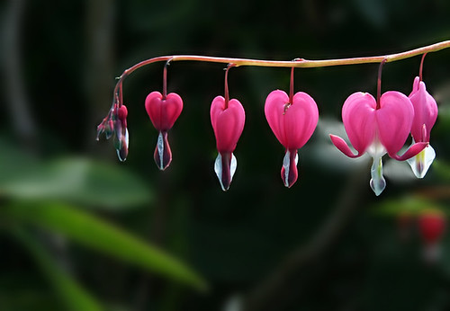 Contre Jour (bleeding heart)