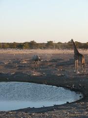 P1000787 (Simon Cast) Tags: africa rhino blackrhino etosha