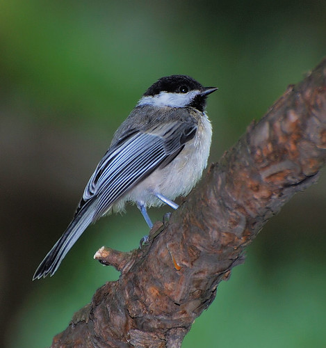 Black-capped Chickadee by Hikerboy45.