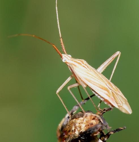 Mirid bug (Miridius quadrivirgatus)