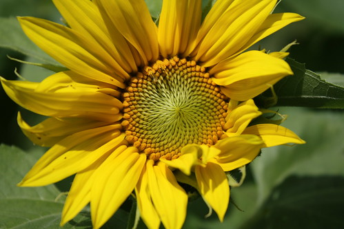 A new sunflower