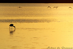 Golden wildlife (SJ Photography) Tags: light sunset sun holland netherlands dutch canon photography gold golden licht photo zonsondergang foto fotografie nederland s sj common zon flevoland lelystad almere spoonbill goud lepelaar natuurgebied oostvaarderplassen sebasdegraauw sjphotography