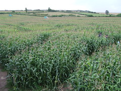 Maize Maze (13)