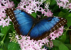 Battered but not Broken (Canicuss) Tags: pink blue white black flower green beautiful beauty leaves butterfly leaf intense wings lepidoptera missouri lovely delicate powellgardens shimmer bluemorpho morphomenelaus colourartaward festivalofbutterflies top20flowerswithbugs batteredbutnotbroken canicuss pgbutterflycontest09 elmmissouri