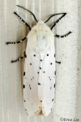 Salt Marsh Moth (Nature Visions) Tags: california macro canon insect moth canondigitalrebel centralcalifornia saltmarshmoth acreamoth spottedmoth blackandwhitemoth ericalea