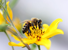 bee5 (mstangel) Tags: life wild flower macro art nature insect wildlife bees bee soe naturesfinest supershot bej mywinners abigfave platinumphoto theunforgettablepictures thatsclassy overtheexcellence goldstaraward rubyphotographer damniwishidtakenthat fantasticinsect