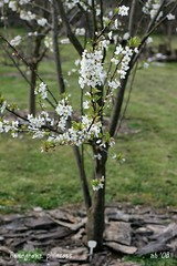 plumcott blooms