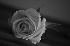 still alive... (Dove*) Tags: show blackandwhite macro rose iso100 300mm tuesday f56 entry 7daysofshooting 70300mmf456dgmacroapo week8stilllifearrangedshotsonlytelephoto