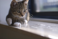 Shetti // Kitten is 10 weeks now (Merlijn Hoek) Tags: amsterdam photography klein nikon kitten katten kat fotografie kittens d200 poes merlijn ukkie poesje sb800 nikond200 merlijnhoek kleinpoesje kleinkatje