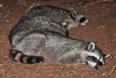 Sleepy Family (shesnuckinfuts) Tags: family nature backyard wildlife spot raccoon brat procyonlotor kentwa littlemama shesnuckinfuts september2008