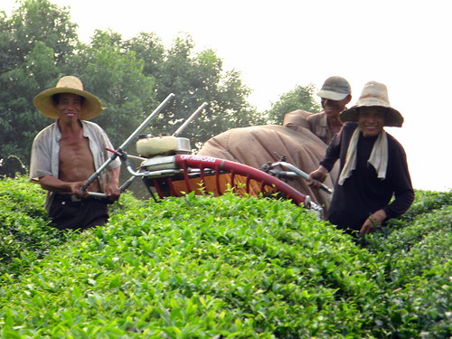 Happy tea trimmers near Wuhu, Anhui Province, China