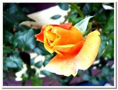~ Amber ~ (littlenelly (rare but there)) Tags: leica orange rose lumix amber blossom bokeh panasonic naturesfinest artisticexpression fx30 golddragon littlenelly ysplix myexplorers rubyphotographer spinneninvasion