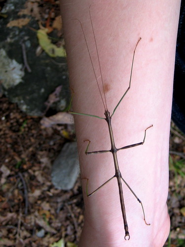 Stick Insect in New Jersey