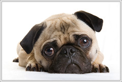 Awwwww... ([Christine]) Tags: dog cute pug wookie beautifulexpression impressedbeauty awardflickrbest vosplusbellesphotos