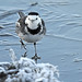 Pied wagtail on ice.