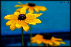 Keep it simple :) (saternal) Tags: flower yellow dof saternal wonderfulworldofflowers