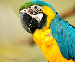 Warna - Warni ( DocBudie) Tags: blue bird beautiful yellow fun foto parrot malaysia mohawk burung bluemacaw klbirdpark warnawarni mywinners platinumphoto amazingamateur burungkakaktua goldstaraward colorfulparrot micarttttworldphotographyawards micartttt rainforestparrot penuhwarna fotowarna