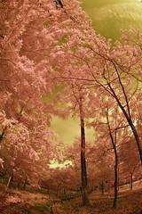 Koma Park Path No.5 (aeschylus18917) Tags: park trees sky tree japan garden landscape ir tokyo japanesegarden nikon scenery d70 nikond70 surreal infrared 日本 saitama 庭 hanno pxt 公園 koma 105mm 埼玉県 105mmf28gfisheye 赤外線 巾着田 saitamaprefecture nikkor105mmf28gfisheye ダニエル danielruyle aeschylus18917 danruyle druyle ルール ダニエルルール 飯能市 hannō kinchakudapark