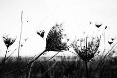 A kiss in a monochrome day (Effe.Effe) Tags: blackandwhite bw bn highkey queenanneslace senigallia biancoenero dryflowers fiorisecchi akissinamonochromeday