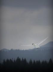 Air glide (Miha Rebernik) Tags: winter lake snow ice water canon swan waterbird swans aquatic aquaticbird 40d velenje canon40d