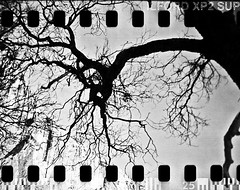 (a life in my head) Tags: blackandwhite tree film 35mm holga xp2 yosemite yosemitenationalpark ilford yosemitevalley 120n