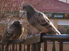 IMG_0263 (ewewlo) Tags: bird europe pigeon poland kutno canondigitalixus870is