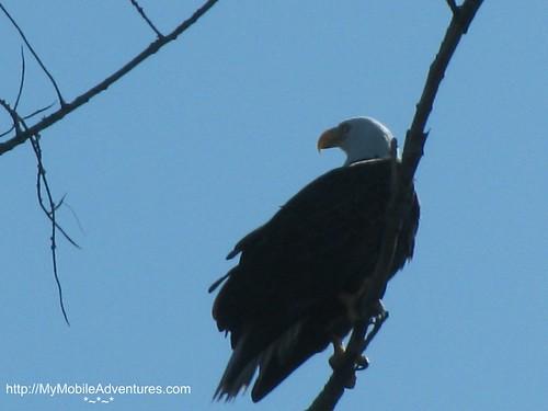IMG_0130-eagle-tree