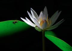 Un instante de luz (Fran.Marchena) Tags: flowers naturaleza flores nature canon venezuela waterlilies aquaticplants nenfares lotos floresacuticas franmarchena