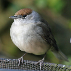 Blackcap (Sylvia atricapilla) (Mukumbura) Tags: bird female garden outdoors wildlife blackcap sylviaatricapilla takenthroughawindow natureoutpost natureselegantshots