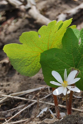 bloodroot with ant