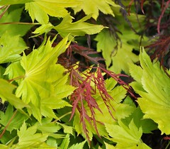 Yellow and red maple leaves (Martin Ystenes - http://hei.cc) Tags: red yellow japanese maple momiji japanesemaple acer mapleleaf acerpalmatum mapleleaves garnet redmaple palmatum dissectum yellowmaple shirasawanum lnn acershirasawanum japansklnn ystenes viftelnn dissectumgarnet martinystenes