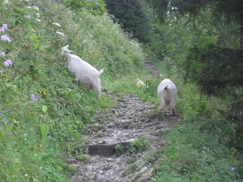 Ziegen versperren den Weg