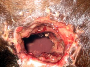 Trauma Injury to the Flank Area by a fence pole, Musculature Contraction and Granulation Tissue
