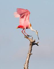 Roseate Spoonbill (Ajaja ajaja) (Let there be light (A.J. McCullough)) Tags: birds texas rookery audubon spoonbill highisland texasbirds featheryfriday houstonaudubon uppertexascoast smithoaks globalbirdtrekkers