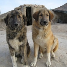NOWZAD DOGS, A FABULOUS CHARITY, HELPING THE ANIMALS IN AFGHANISTAN AND IRAQ (Lady Of The Hounds) Tags: