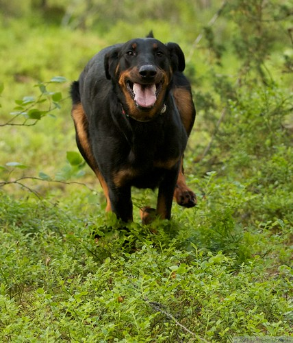 Happy running Beauceron