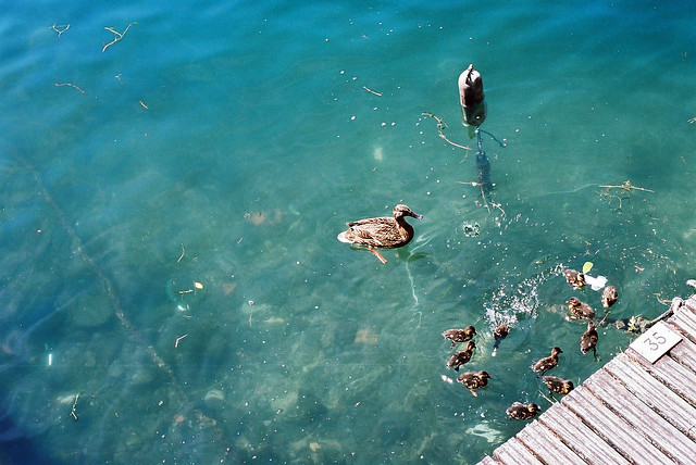 Duck and Duckling in Italy, Lago di Como