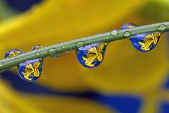 itty-bitty iris drops (Steve took it) Tags: macro nature water drops refraction waterdrops raindrop