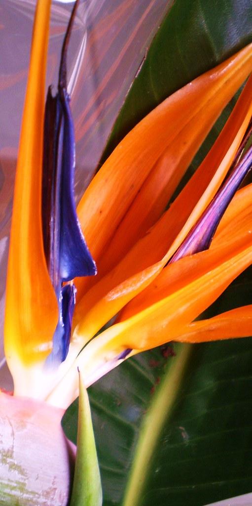PARADISE FLOWER -sterlizia